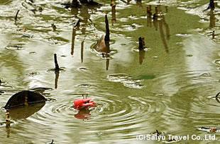 干潟に暮らすシオマネキ