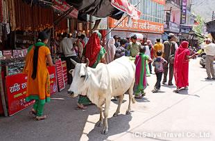 リシケシの街並み。聖なる動物である牛は街のいたるところで堂々と過ごしている。
