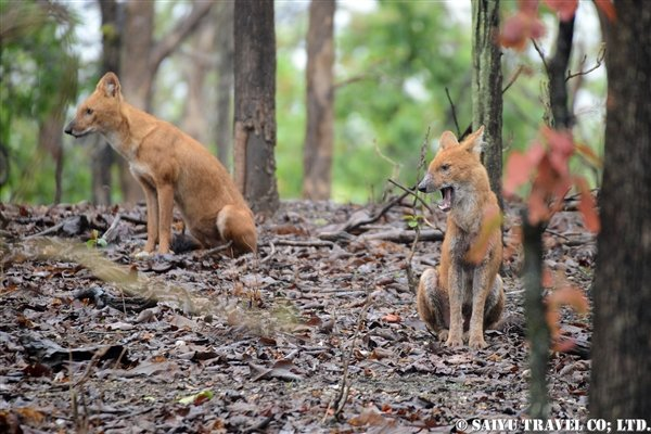 Pench National Park -Dhole (3)