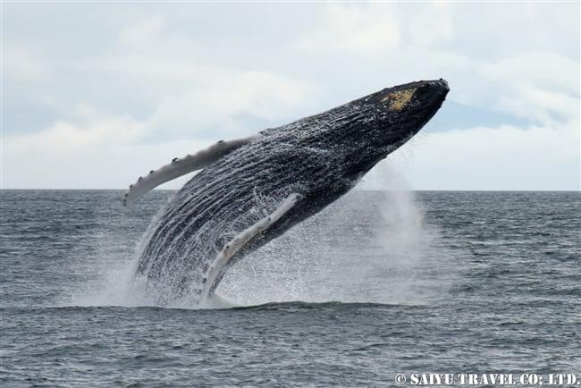 ザトウクジラのブリーチング Mariko SAWADA (9)