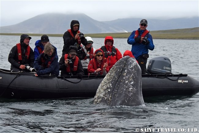 Grey Whale -Bering Sea (11)