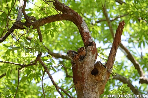 Indian Scops Owl (2)