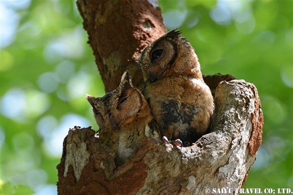 Indian Scops Owl (4)