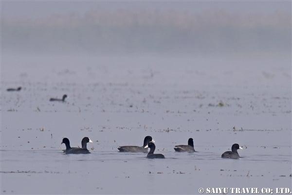 オオバン インレー湖 Common Coot (1)
