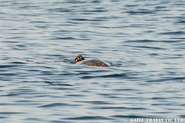 オマーンのウミガメ (2)