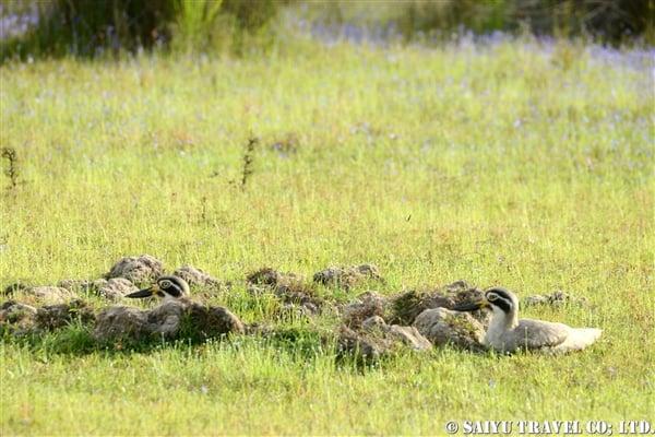 ソリハシオオイシチドリ ウィルパットゥ国立公園