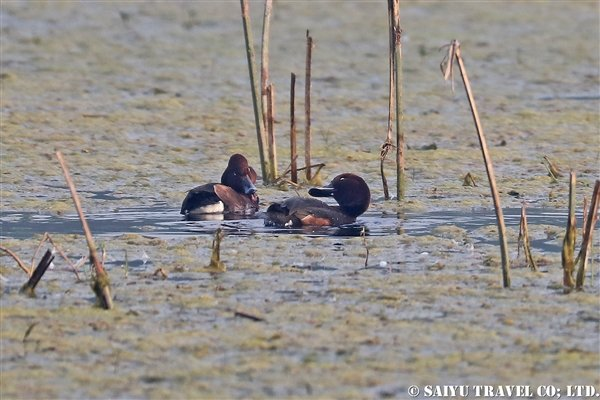 ●Ferruginous Duck メジロガモ007A7996