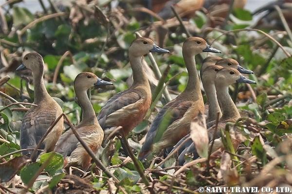 ●Lesser Whistling-duck リュウキュウガモ 007A9727