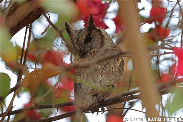 ●Indian Scops Owl インドオオコノハズク007A8131