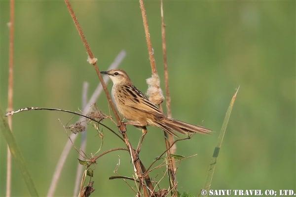 ●Striated Grassbird オニセッカ9007A0008