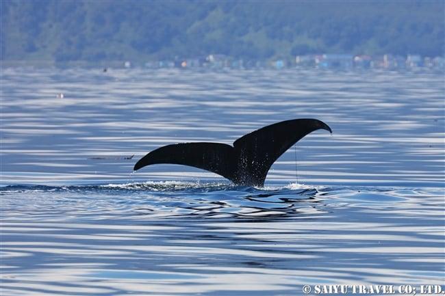 羅臼 マッコウクジラ Sperm whale ホエールウォッチング (19)