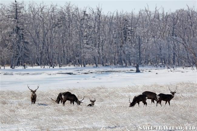 雨氷 野付半島 Ezo Sika Deer (2)