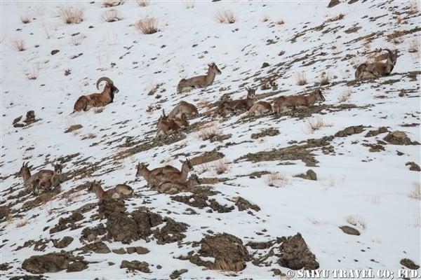 ウリアル Ladakh Urial (13)