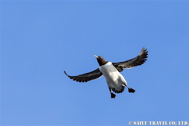 ウミガラス Common Guillemot Norway Vardo Hornoya (8)