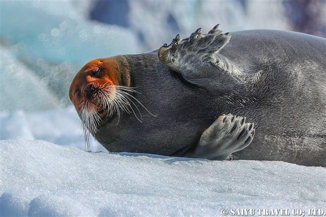 アゴヒゲアザラシ Beaded Seal スピッツベルゲン (17)