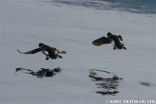 ヒメウミスズメ Little Auk スピッツベルゲン Spitsbergen スヴァールバル (3)