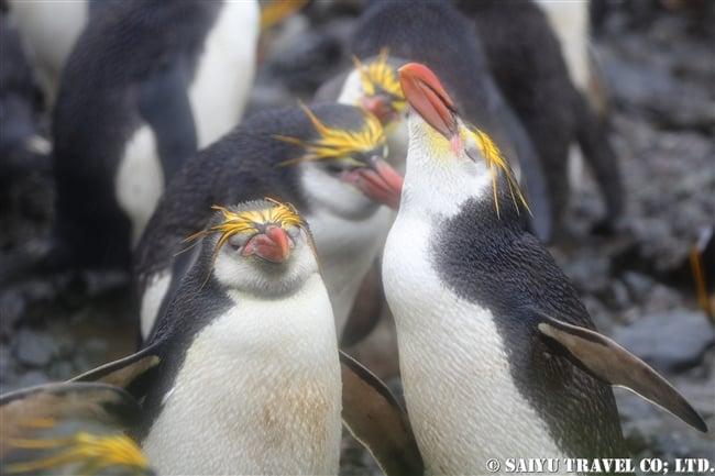 ロイヤルペンギン Royal Penguin マッコリー島 (6)