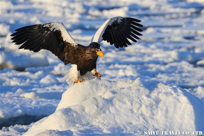 羅臼 流氷クルーズ オオワシ Steller's sea eagle (5)
