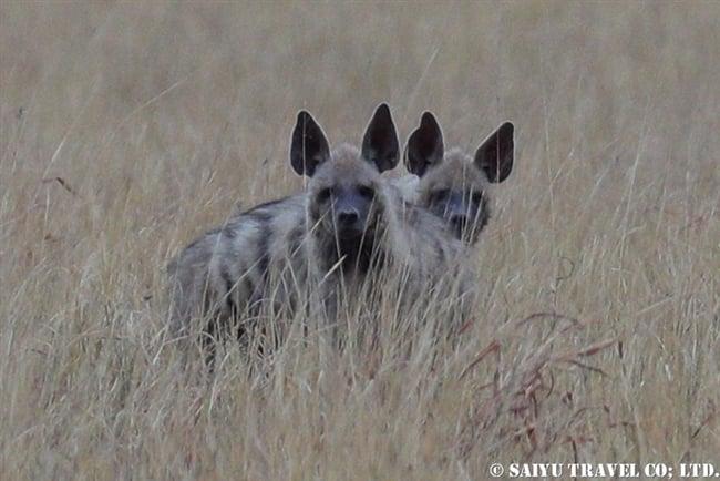 シマハイエナ Striped Hyena ヴェラヴァダール・ブラックバック国立公園 (8)