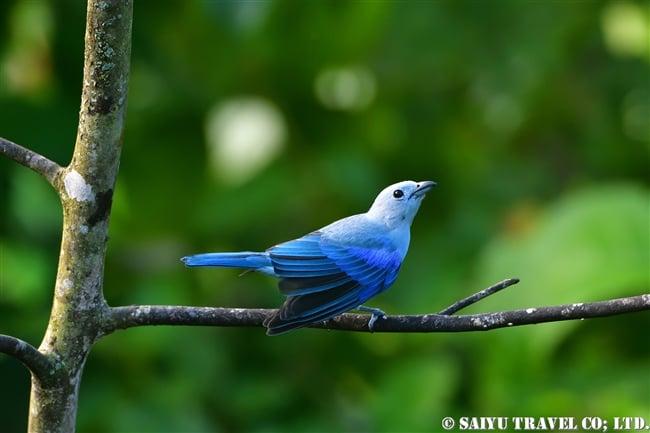 ソライロフウキンチョウ Blue-grey Tanager ASA WRIGHT NATURE CENTRE (13)