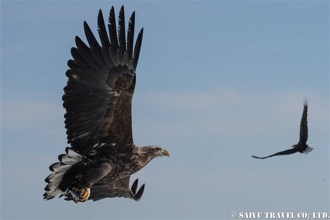 羅臼 流氷クルーズ オオワシ オジロワシ Rausu Drift Ice Cruise Steller's Sea Eagle (3) Wildlife of Hokkaido