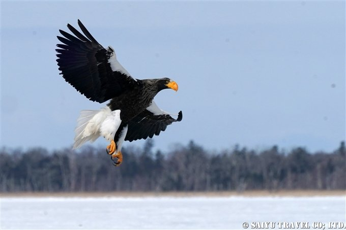 Lake Furen Hkkaido Steller's sea eagle 風蓮湖 オオワシ Wildlife of Japan