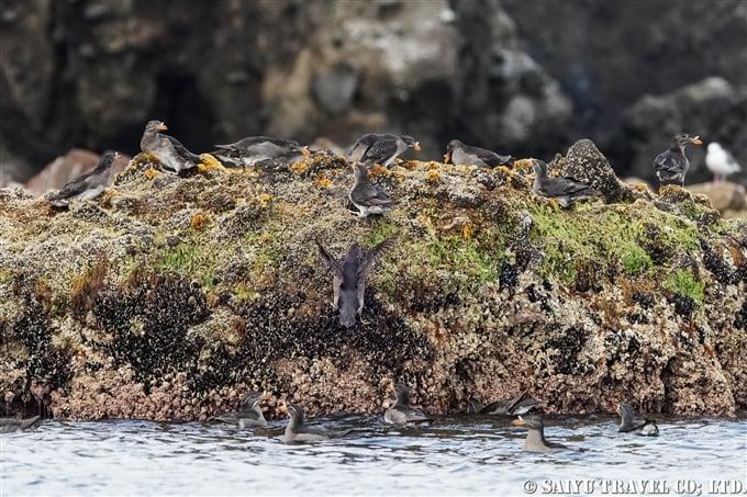 天売島 ウトウ ケイマフリ号 Rhinoceros Auklet Teuri Island Bird Photography (8)