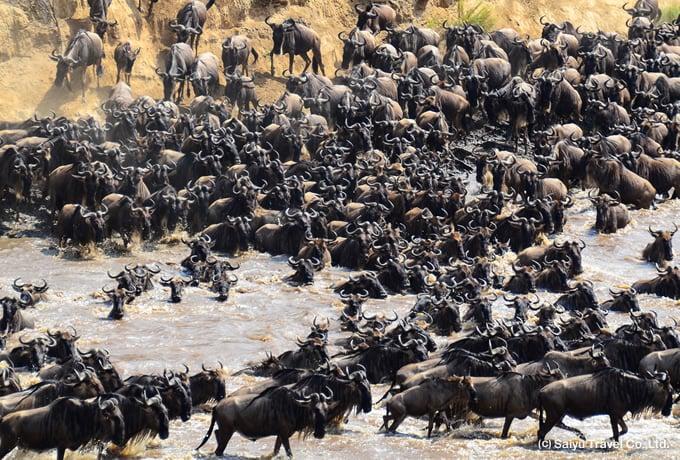 マサイマラでヌーの川渡りを狙う|西遊旅行の添乗員同行ツアー(146号)