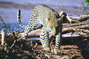 動物スペシャリスト・秋山知伸さん同行 ケニアサファリスペシャル サンブル国立保護区とツァボ国立公園