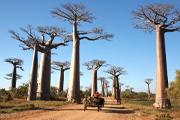 マダガスカル ベマラハ国立公園のツィンギーとバオバブの並木道
