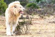 南アフリカ イースタンケープのホワイトライオン