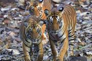 南インドの宝石 ナガラホール国立公園ワイルドサファリ