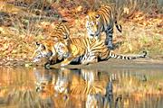 インド中央部の四大国立公園 ベンガルタイガーリザーブへ