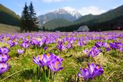 春のポーランドハイキング タトラ山脈にクロッカスを求めて